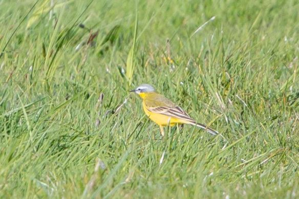 Yellow wagtail, 17 April 2017