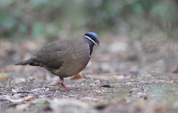 Blue-headed quail dove, 15 March 2017