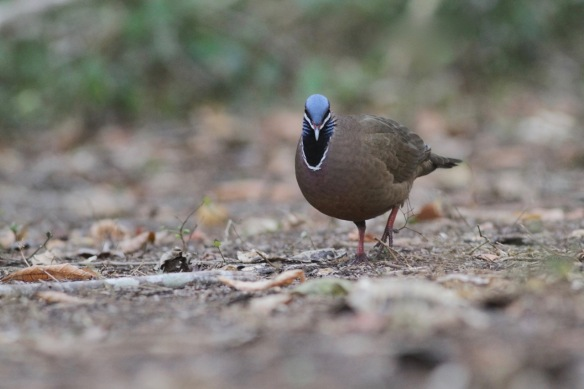 Blue-headed quail dove, on 15 March 2017