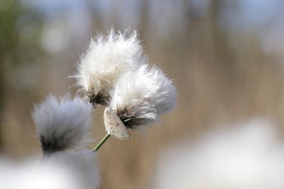 Cottongrass, 29 April 2017