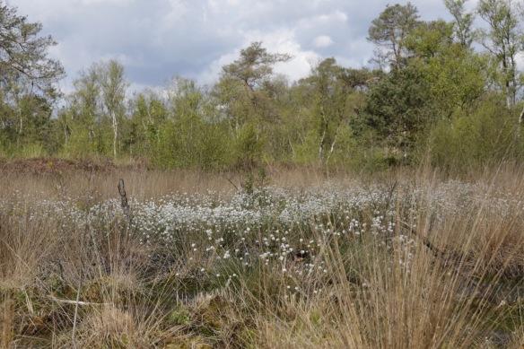 Cottongrass, on 29 April 2017