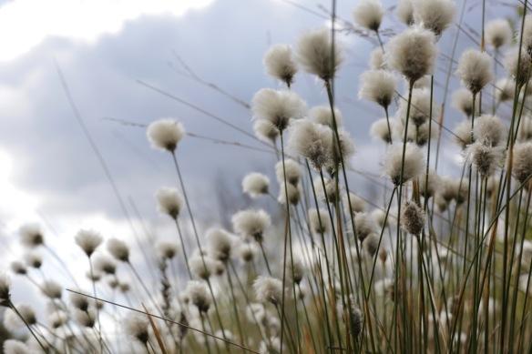 Cottongrass, Wooldse veen, on 29 April 2017