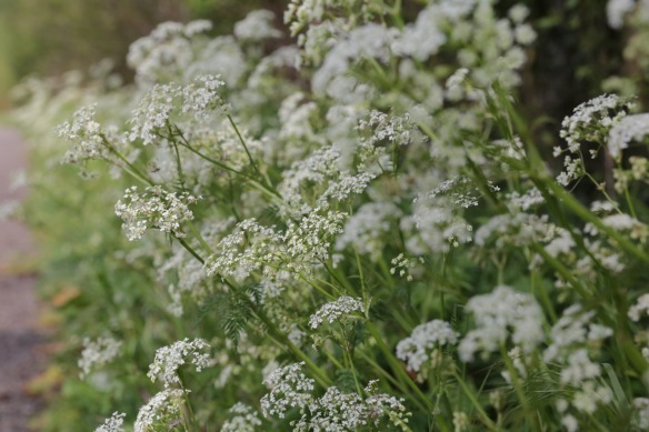 Cow parsley, 3 May 2017