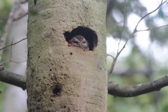 Cuban screech-owl, 14 March 2017