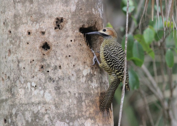 Fernandina's flicker, 14 March 2017