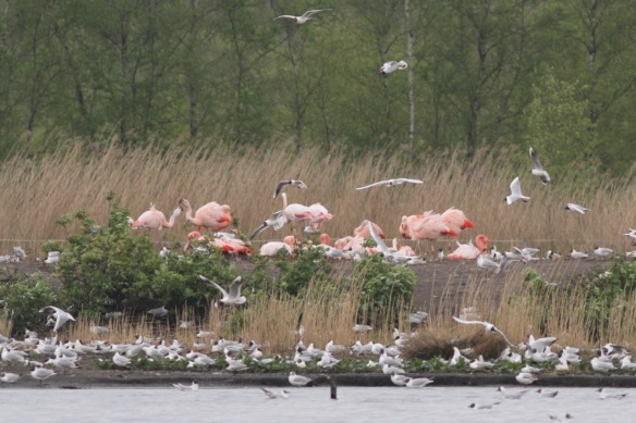 Flamingos and black-headed gulls, on 4 May 2017