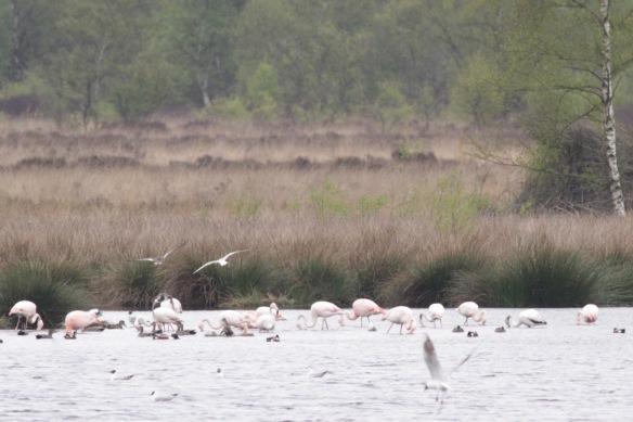 Flamingos, black-headed gulls, gadwall and shoveler ducks, 4 May 2017
