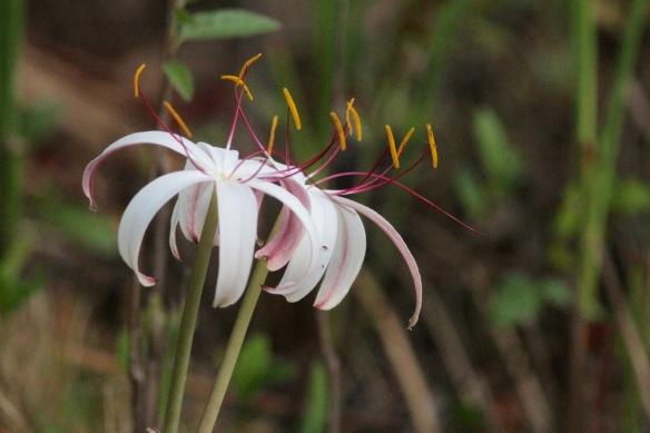 Flower, Zapata swamp, 14 March 2017
