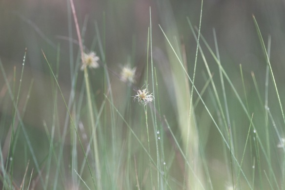 Flowering grass, 14 March 2017