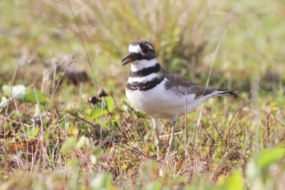 Killdeer, 14 March 2016