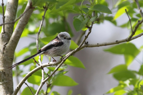 Long-tailed tit, 30 April 2017