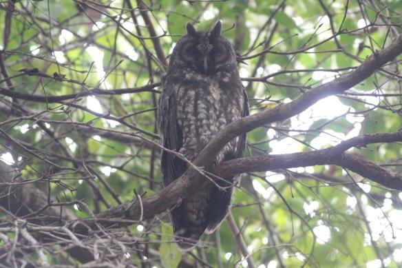 Stygian owl, 14 March 2017