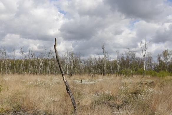 Wooldse veen, dead tree, 29 April 2017