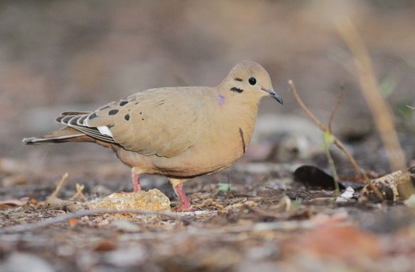 Zenaida dove, Cuba, 15 March 2017
