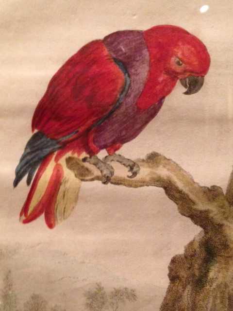 Eclectus parrot, 24 June 2017