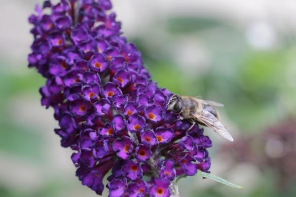 Butterfly-bush, 13 August 2017