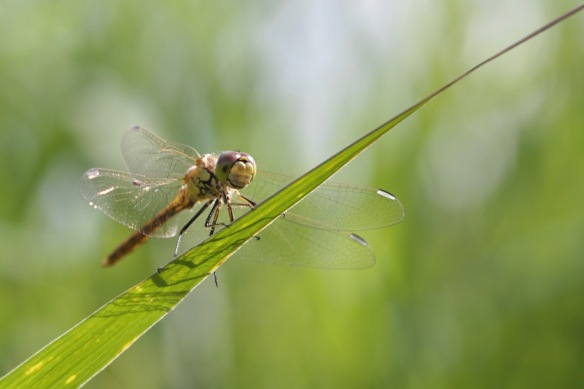 Dragonfly female, 30 July 2017