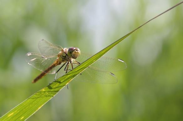 Dragonfly female, 30 July 2017