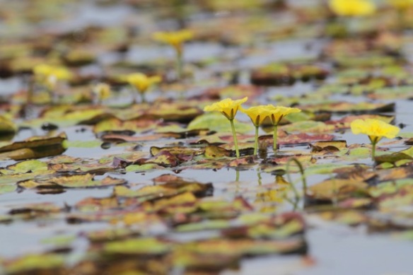 Fringed water-lilies, 1 August 2017