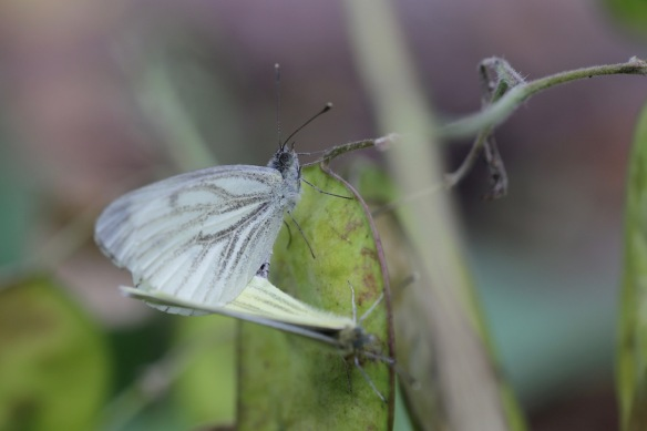 Green-veined white butterflies, 30 July 2017