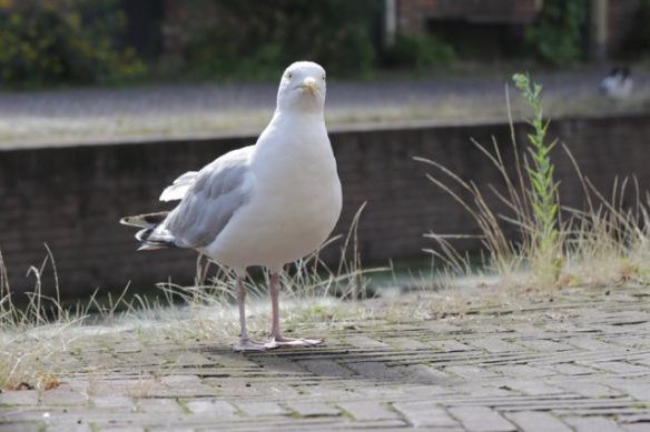 Herring gull, 13 August 2017