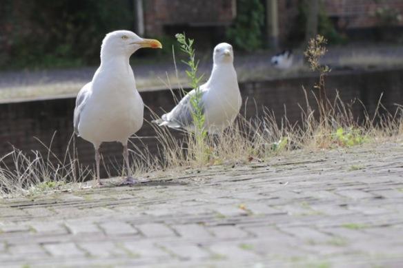 Herring gulls, 13 August 2017