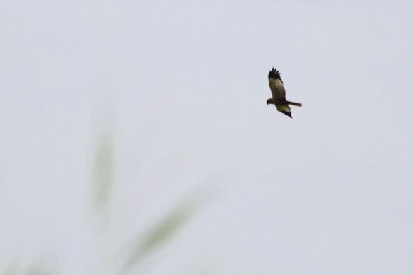 Marsh harrier, 1 August 2017