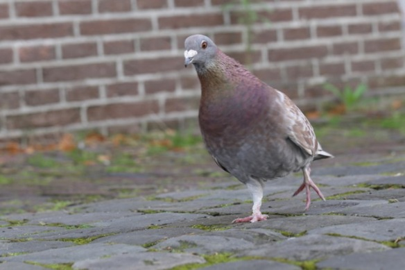Pigeon, 13 August 2017