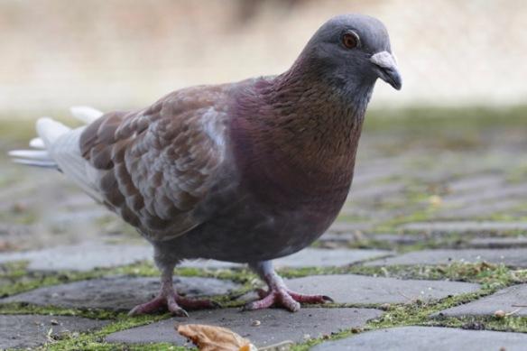 Pigeon, Leiden, 13 August 2017