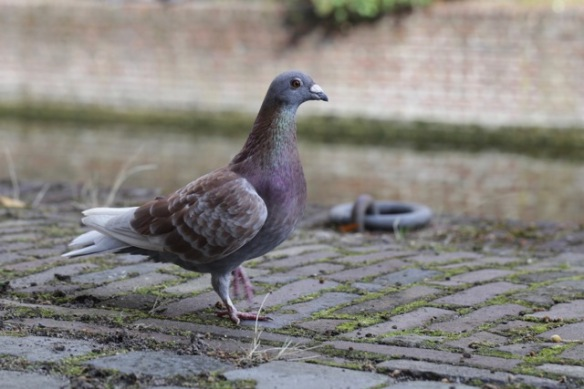 Pigeon, on 13 August 2017
