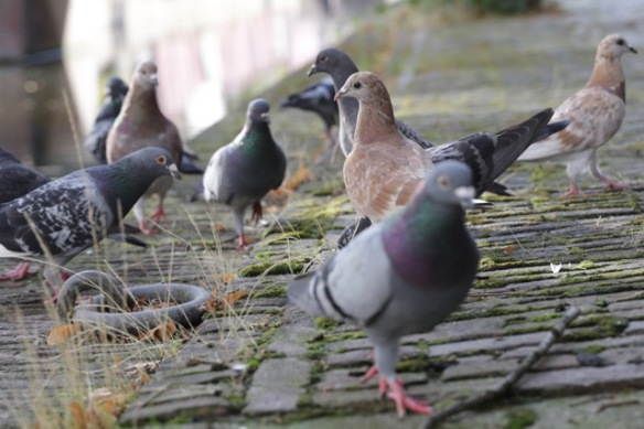 Pigeons, on 13 August 2017
