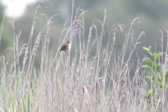 Sedge warbler, 1 August 2017