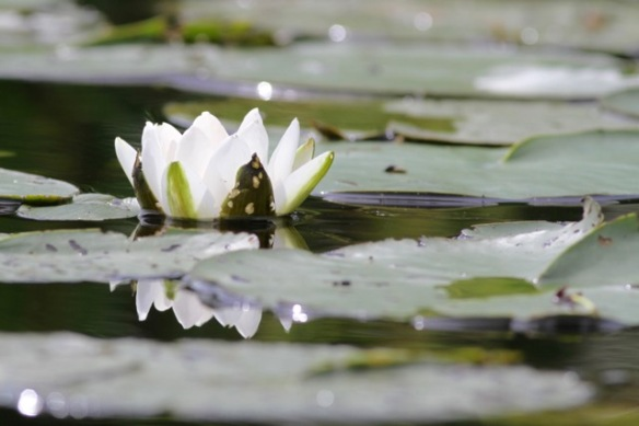 White water-lily, on 1 August 2017