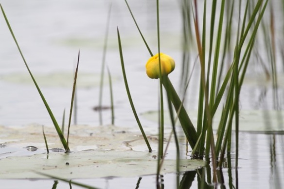 Yellow water-lily, 1 August 2017