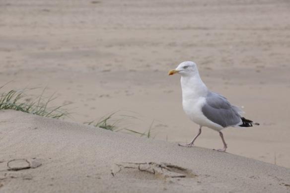 Herring gull, 17 September 2017