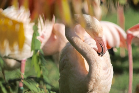 Greater flamingos, 30 October 2017