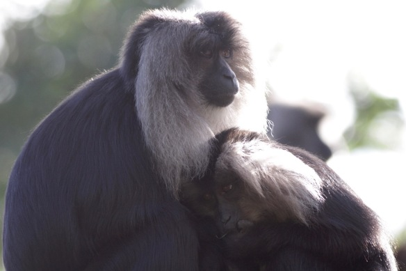 Lion-tailed macaques, 30 October 2017