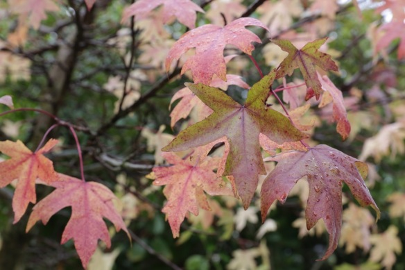 Oriental sweetgum, 22 October 2017