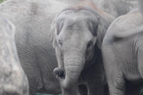 Asian elephant baby, 30 October 2017