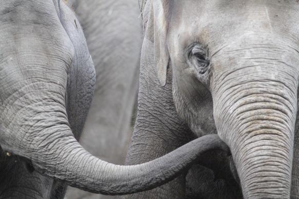 Asian elephants, on 30 October 2017