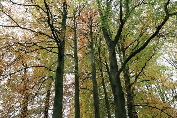 Beech trees, 12 November 2017
