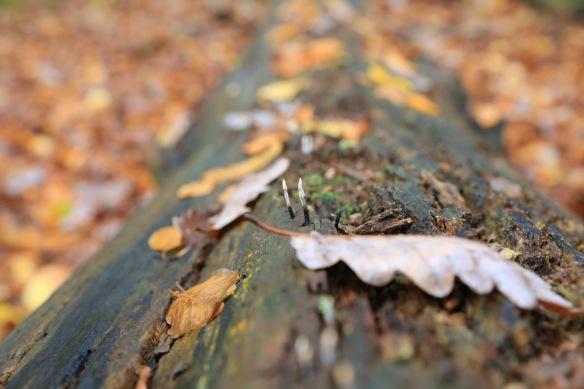 Candlesnuff fungi, 12 November 2017