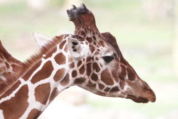 Giraffe, 30 October 2017