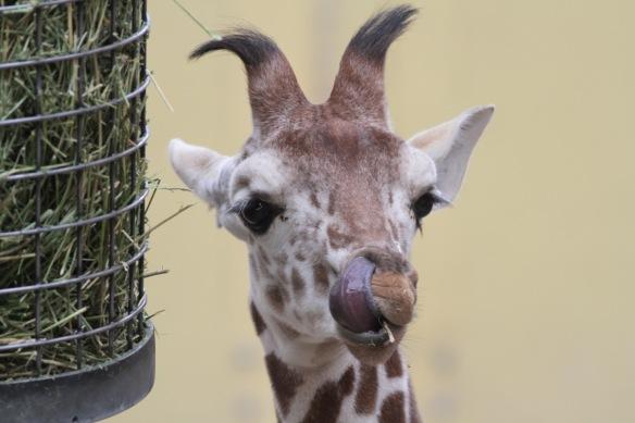 Giraffe baby, 30 October 2017