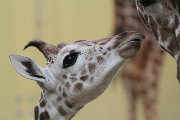 Giraffe baby, 30th October 2017