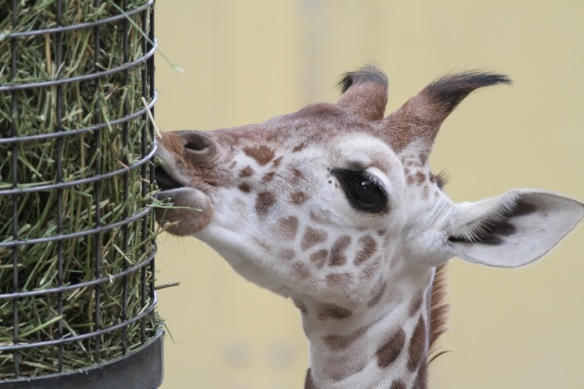 Giraffe baby, on 30 October 2017