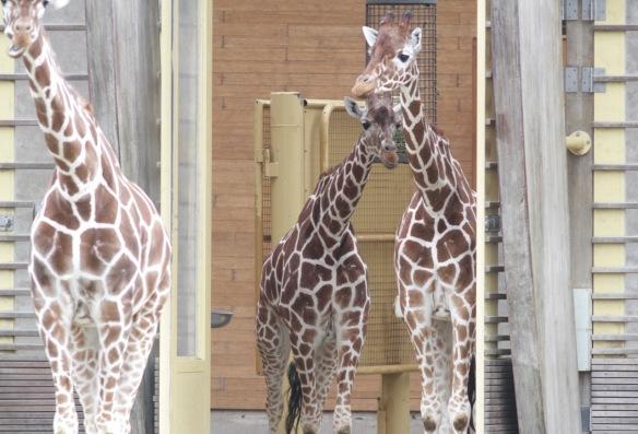 Giraffes, 30 October 2017