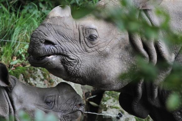 Indian rhinos, 30 October 2017