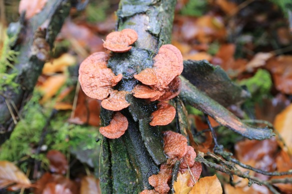 Orange fungi, 12 November 2017
