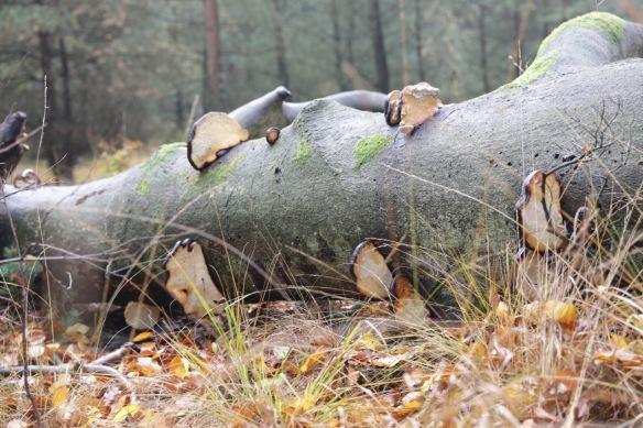 Tinder fungi, 11 November 2017